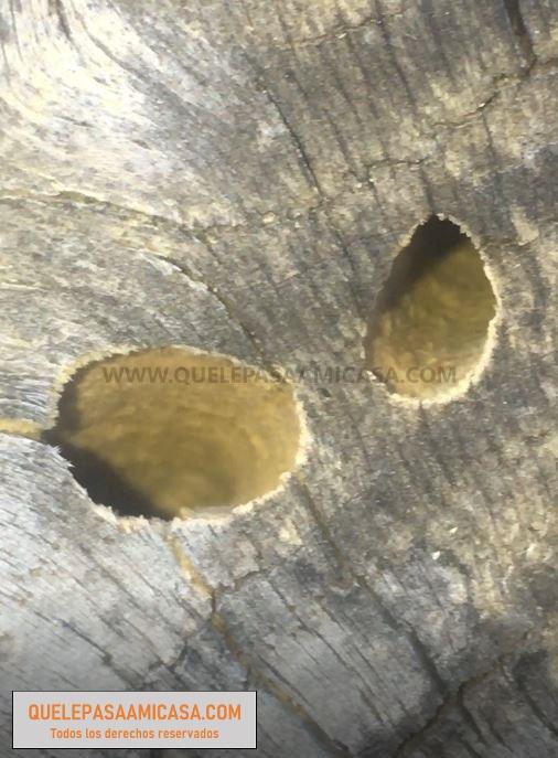 madera con agujeros por insectos. Carcoma y xilófagos